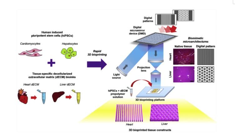 Biomaterials:脱细胞基质墨水的无扫描连续光固化生物3D打印